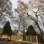 Willow Tree Removal by Clip 'Em and Fell 'Em