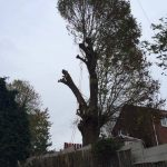 Large Ash Tree Removal