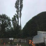 70ft Lombardy Poplar