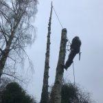 Diseased Birch Tree Removal